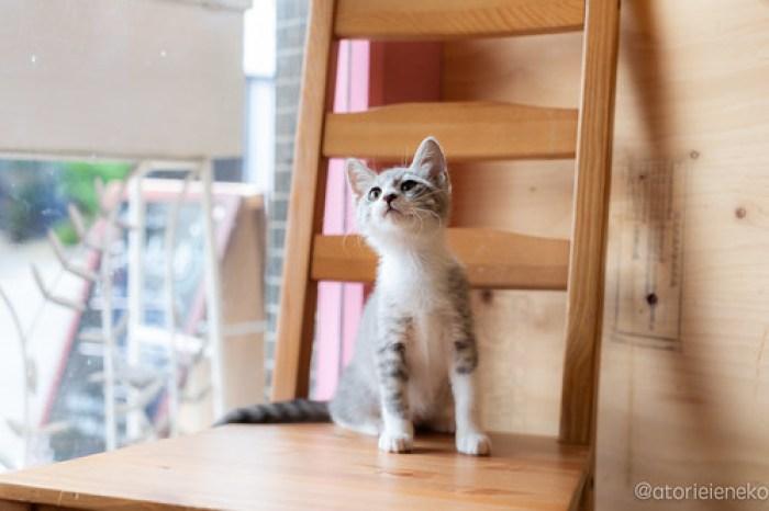 アトリエイエネコ Cat Photographer 43117681891_f20a40b6ee 1日1猫!おおさかねこ俱楽部 里親様募集中のナナコちゃん♪ 1日1猫!  里親様募集中 猫写真 猫カフェ 猫 子猫 大阪 初心者 写真 保護猫カフェ 保護猫 ニャンとぴあ スマホ カメラ おおさかねこ倶楽部 Kitten Cute cat