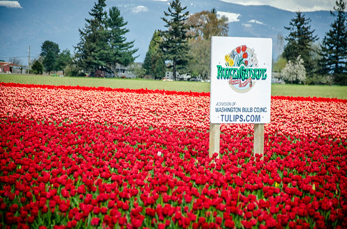 Skagit Valley Tulips-85