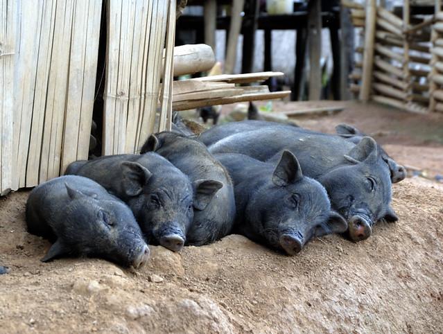Sleeping pigs  Flickr  Photo Sharing
