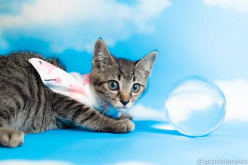 アトリエイエネコ Cat Photographer 42641830945_0a555573f6 1日1猫!おおさかねこ俱楽部 里親様募集中のルル君♪ 1日1猫!  里親様募集中 猫写真 猫カフェ 猫 子猫 大阪 初心者 写真 保護猫カフェ 保護猫 ニャンとぴあ スマホ キジ猫 カメラ おおさかねこ倶楽部 Kitten Cute cat