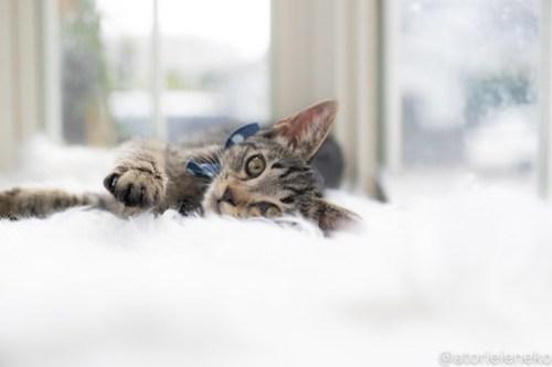 アトリエイエネコ Cat Photographer 43260319984_eb0a4a2fed 1日1猫!高槻ねこのおうち 里活中のラッキー♪ 1日1猫!  高槻ねこのおうち 里親様募集中 猫写真 猫カフェ 猫 子猫 大阪 初心者 写真 保護猫カフェ 保護猫 スマホ キジ猫 カメラ Kitten Cute cat