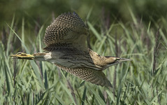 Bittern - Junior takes to the sky and comes of age