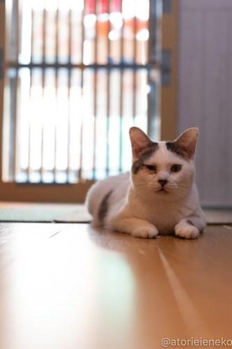 アトリエイエネコ Cat Photographer 42808917525_b52b17d763 1日1猫!小さな猫カフェペルちゃん2周年記念こねこがいっぱいにゃん 1日1猫!  里親様募集中 猫写真 猫カフェ 猫 小さな猫カフェペルちゃん 守口市 守口 子猫 大阪 写真 保護猫カフェ ペルちゃん Cute cat