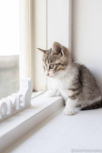 アトリエイエネコ Cat Photographer 41583612672_b20263cc98 1日1猫!高槻ねこのおうち_こちらもキュートな女の子♪ 1日1猫!  高槻ねこのおうち 里親様募集中 猫写真 猫 子猫 大阪 初心者 写真 保護猫 スマホ キジ猫 カメラ Kitten Cute cat