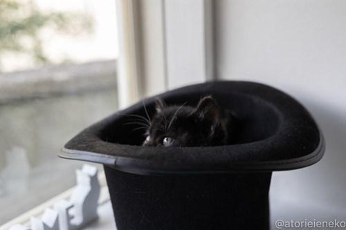 アトリエイエネコ Cat Photographer 26755624467_faff2d752e 1日1猫!高槻ねこのおうち_キュートなハチワレ女の子♪ 1日1猫!  高槻ねこのおうち 猫写真 猫カフェ 猫 大阪 写真 保護猫カフェ 保護猫 ハチワレ スマホ カメラ Kitten Cute cat
