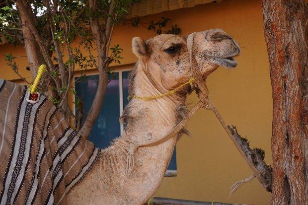 Camel - Al Badayer desert