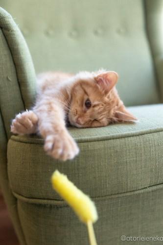 アトリエイエネコ Cat Photographer 41138166145_8dcdc50973 保護猫カフェ 森のねこ舎 (や)のブログ
