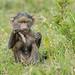 Olive baboon Infant - Papio anubis