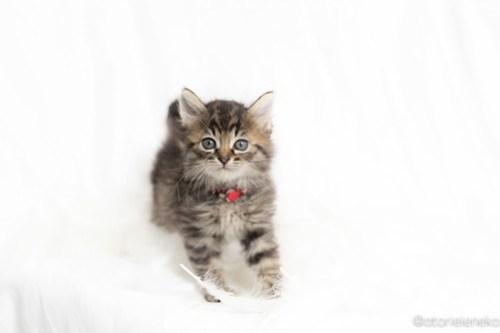 アトリエイエネコ Cat Photographer 27083716907_75ea962156 1日1猫!高槻ねこのおうち 幸せ組の子猫たち♪ 1日1猫!  高槻ねこのおうち 里親様募集中 譲渡会 猫写真 猫 子猫 大阪 写真 保護猫 スマホ カメラ Kitten Cute cat