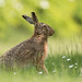 Back yard Brown Hare