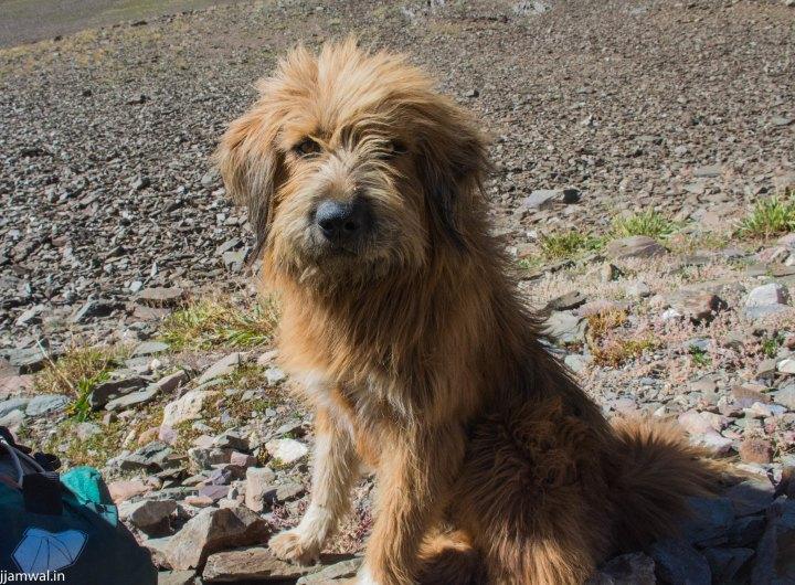 A shepherd dog