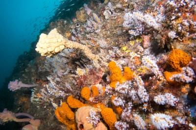 Red scorpionfish S jacksoniensis in Carijoa garden #marineexplorer