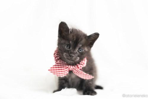 アトリエイエネコ Cat Photographer 28081567498_b846d8a326 1日1猫!高槻ねこのおうち さつきちゃん♪ 1日1猫!  黒猫 高槻ねこのおうち 里親様募集中 譲渡会 猫写真 猫 子猫 大阪 初心者 写真 保護猫 カメラ Kitten Cute cat