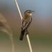 Rietzanger / Sedge warbler