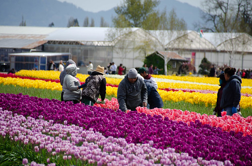 Skagit Valley Tulips-84