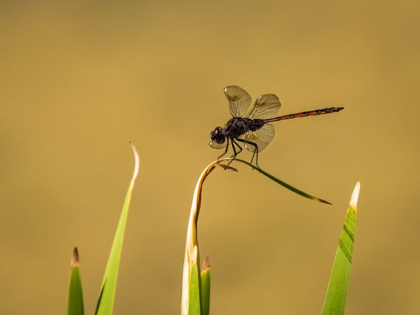 Four-spotted Pennant(?)