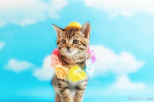 アトリエイエネコ Cat Photographer 41867832981_6e44f2d00a 1日1猫!ニャンとぴあキャッツ 里親様募集中のあゆちゃん♪ 1日1猫!  里親様募集中 猫写真 猫カフェ 猫 子猫 大阪 初心者 写真 保護猫カフェ 保護猫 ニャンとぴあ スマホ キジ猫 カメラ おおさかねこ倶楽部 Kitten Cute cat
