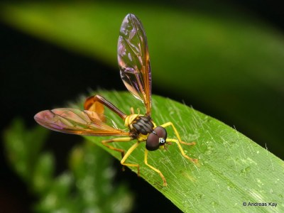 Hoverfly, Salpingogaster sp., Syrphidae