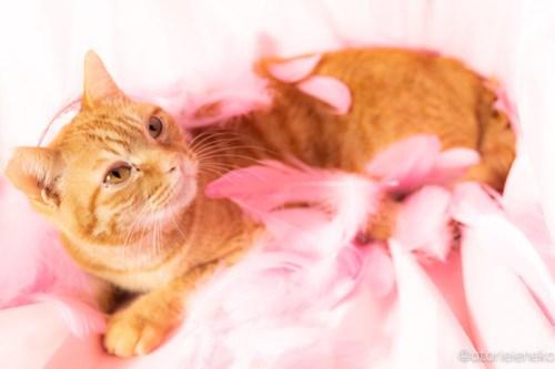 アトリエイエネコ Cat Photographer 41354731864_cf488e09f7 1日1猫!おおさかねこ倶楽部 里親様募集中のクリちゃん♪ 1日1猫!  里親様募集中 猫写真 猫カフェ 猫 子猫 大阪 初心者 写真 保護猫カフェ 保護猫 ニャンとぴあ スマホ カメラ おおさかねこ倶楽部 Kitten Cute cat