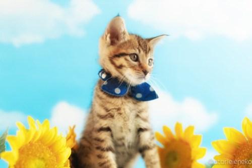 アトリエイエネコ Cat Photographer 40969229815_cf8a8d0264 1日1猫!ニャンとぴあキャッツ 里親様募集中のハタくん♪ 1日1猫!  里親様募集中 猫写真 猫カフェ 猫 子猫 大阪 初心者 写真 保護猫カフェ 保護猫 ニャンとぴあ スマホ キジ猫 カメラ おおさかねこ倶楽部 Kitten Cute cat