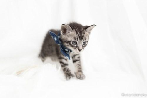 アトリエイエネコ Cat Photographer 41234428144_627a1aebda 1日1猫!高槻ねこのおうち まなぶちゃん♪ 1日1猫!  高槻ねこのおうち 里親様募集中 猫写真 猫 子猫 大阪 写真 保護猫 スマホ キジ猫 カメラ Kitten Cute cat