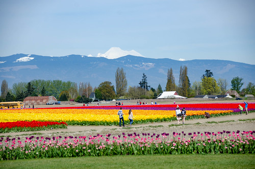 Skagit Valley Tulips-126
