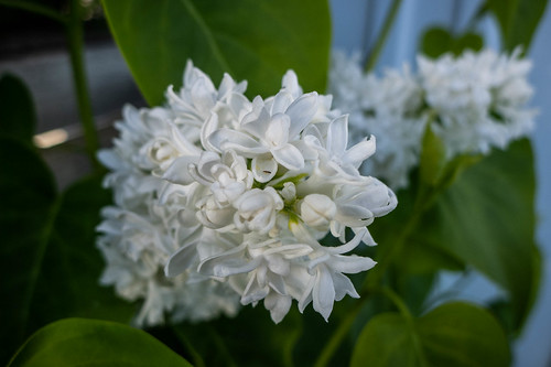 Samish Island Lilacs