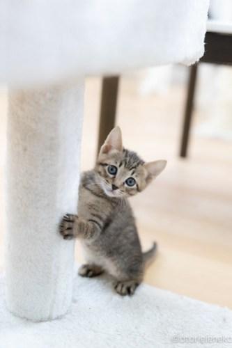 アトリエイエネコ Cat Photographer 41354538895_fefdebc4a3 1日1猫!保護猫カフェねこんチ 子猫祭り(5/20)に行ってきた!その1 1日1猫!  里親様募集中 猫写真 猫カフェ 猫 子猫 大阪 写真 保護猫カフェねこんチ 保護猫カフェ 保護猫 ハチワレ スマホ キジ猫 カメラ Kitten Cute cat