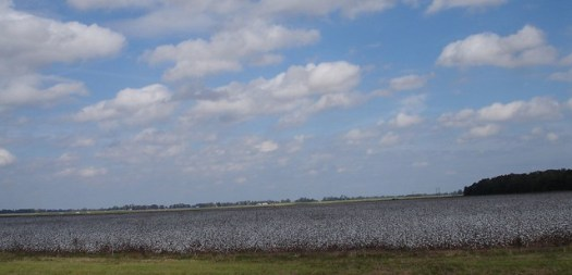 Cotton Field Between Washington and Alexandria, LA