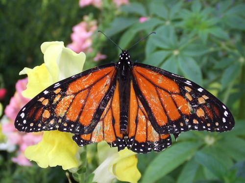 Ragged Monarch