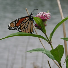 Monarch-Swamp Milkweed-Keyser Lake