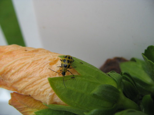 Hibiscus Bug