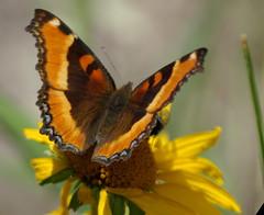 Milbert's Tortoiseshell butterfly - White Moun...