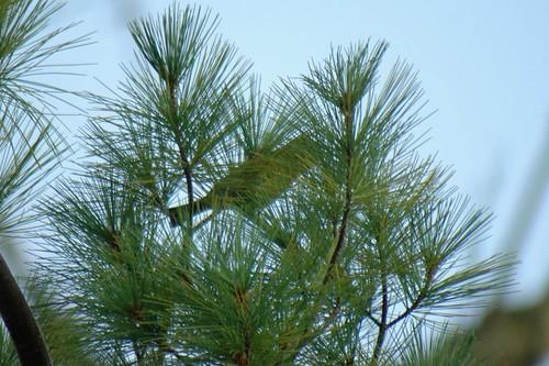Hiding Warbler