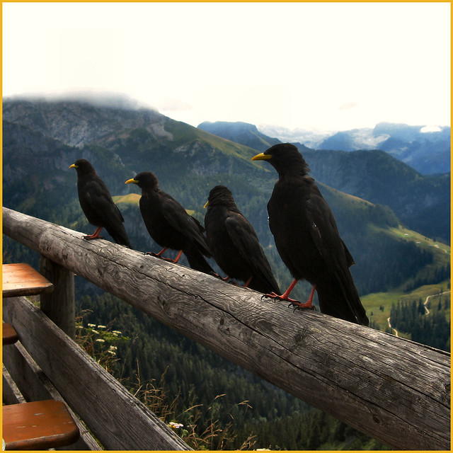 4 jackdaws longing for fried potatoes