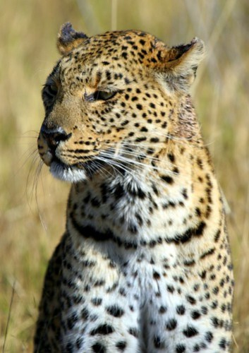 FEMALE LEOPARD IN BOTSWANA...NXABEGA CAMP