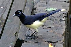 Simpático pássaro argentino / Sympathetic Arge...