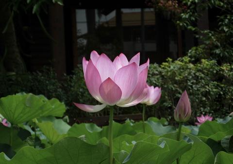 Lotus Pond3
