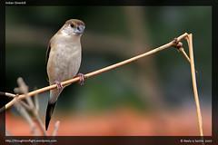 IndianSilverbill2