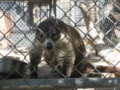 Coatimundi at the Moonridge Zoo in Big Bear