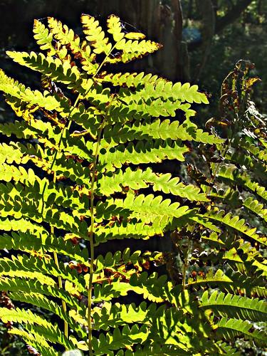 cinnamon ferns 1