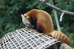 Kleiner Panda Geordy im Zooparc de Trégomeur
