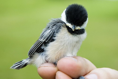 Banding the Baby Chickadees