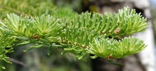 Balsam fir sun needles