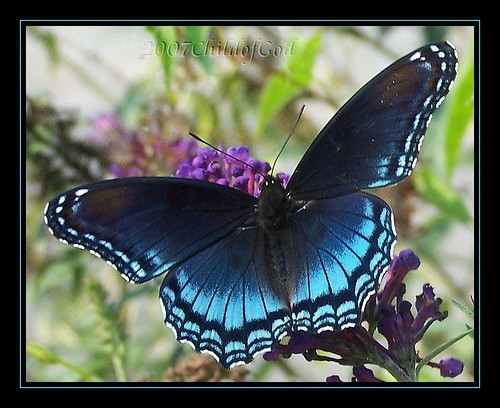 Blue Butterfly ~ REPOST by childofGOD / Beckie