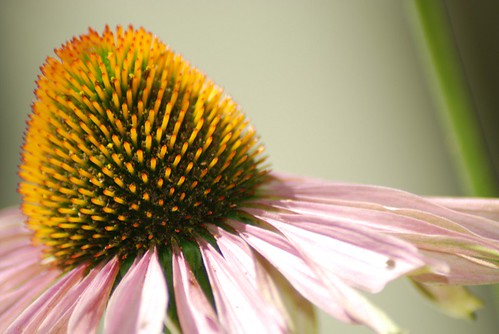 purple cone flower close up
