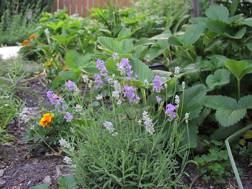 Blue Cushion lavender