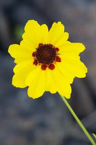 columbia coreopsis