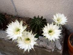 通勤途中で見つけたサボテンの花