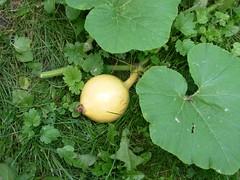 pumpkin Aug 17